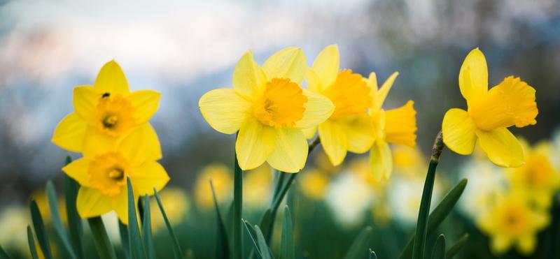 Daffodils_field